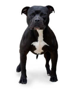 Not all pit bulls are dangerous, obviously, but most U.S. dog attacks are committed by that breed